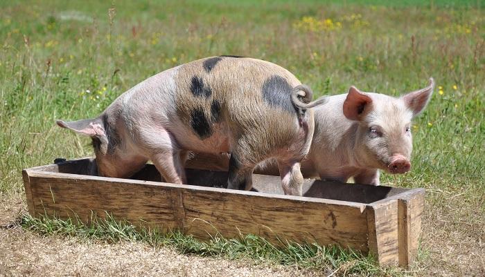 свинья в кормушке