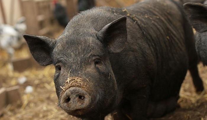 грязный нос у свиньи