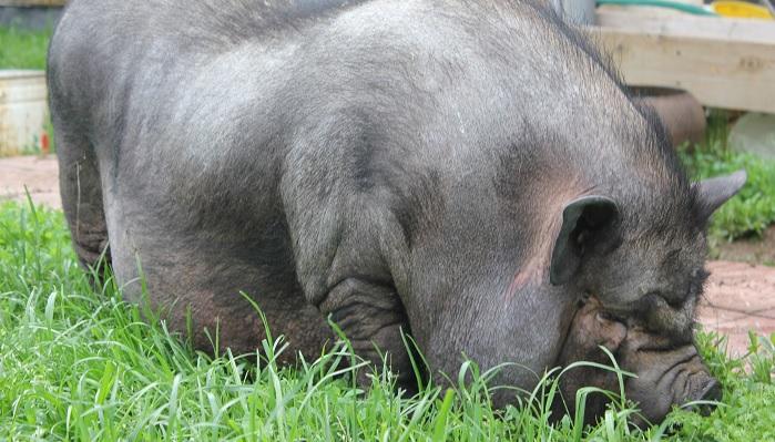 свинья и зеленая трава