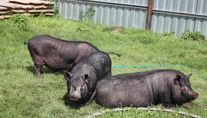 три свиньи на траве