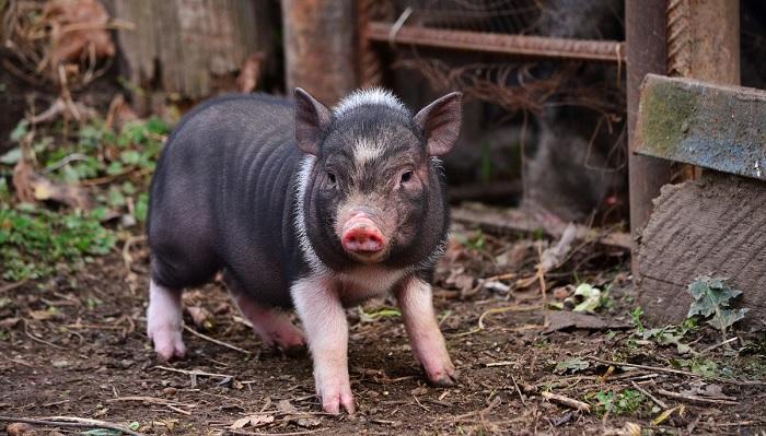 маленькая свинья