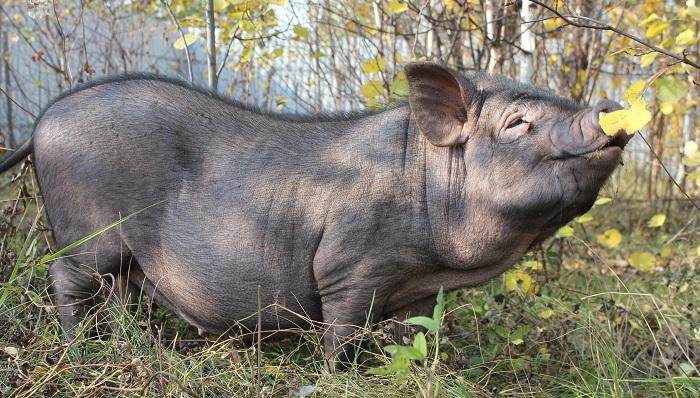 свинья и лист желтый