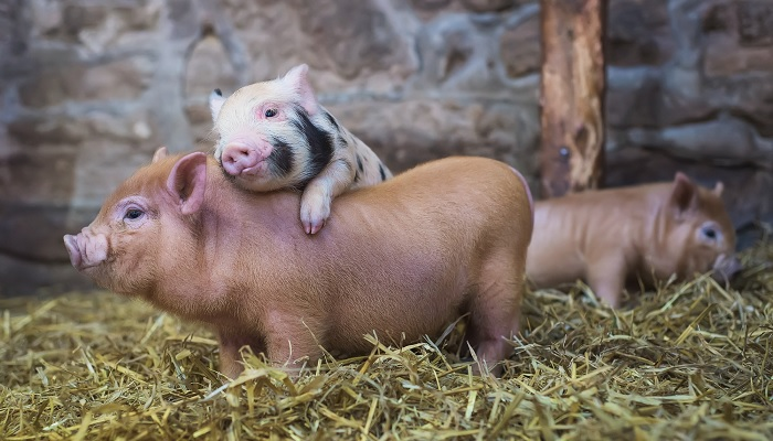 свинья обнимает