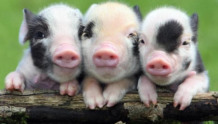 три свиньи и палка
