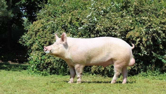 свинья в зеленый фон