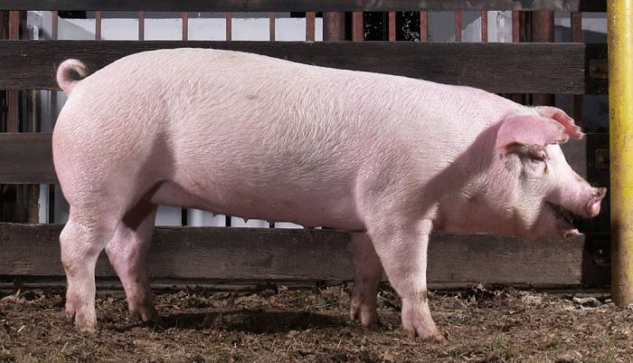 свинья в сарае