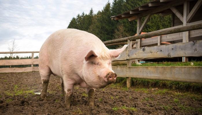 в загоне свинья