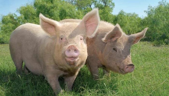 зеленая трава и две свиньи