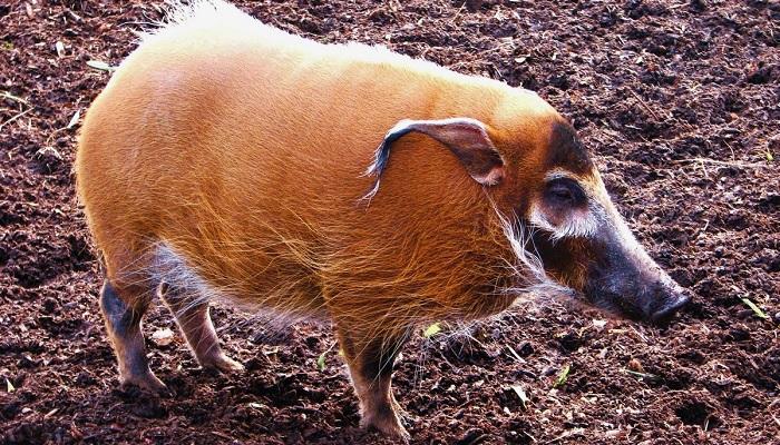 свинья и земля