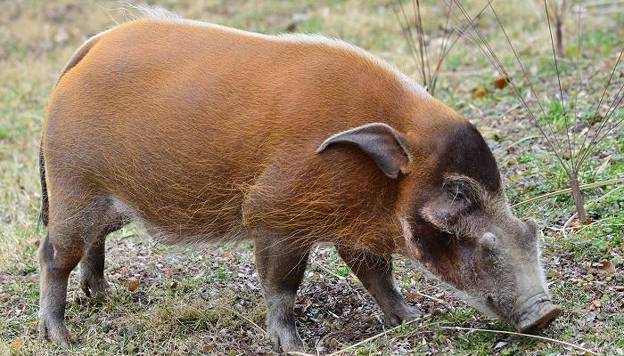 свинья в африке