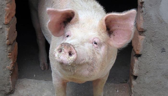 свинья на входе