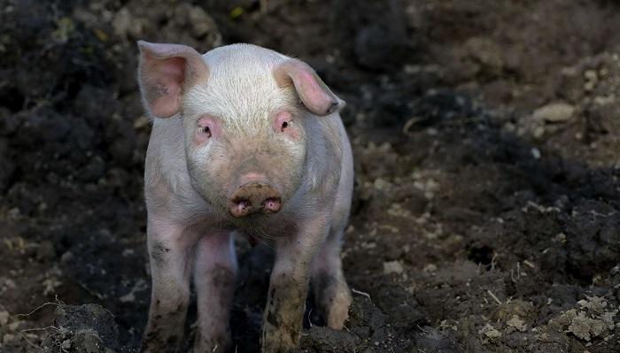 грязная свинья