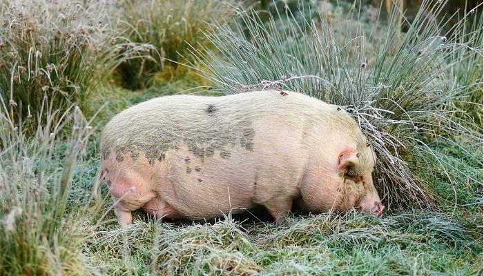 свинья ест траву