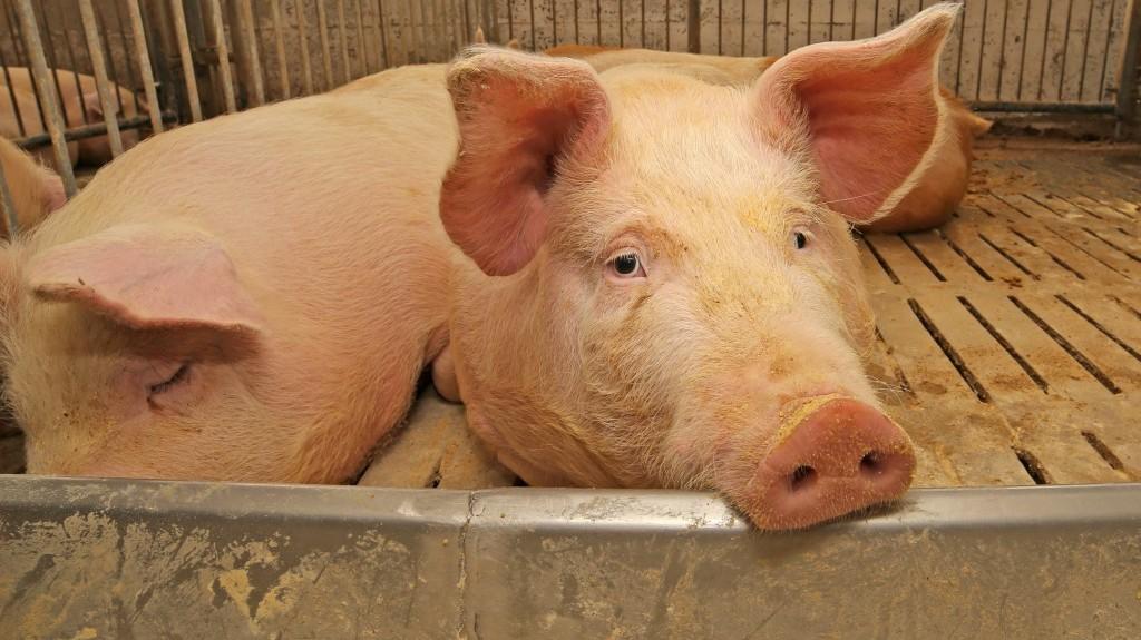 Грустная свинья