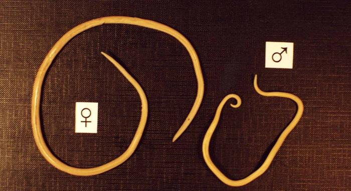 самка и самец глистов