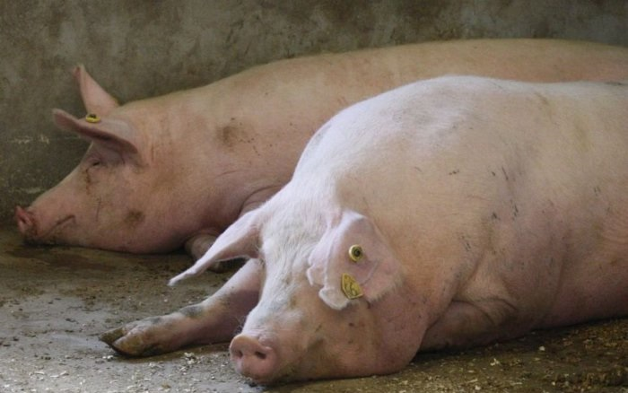 свинья лежит больная