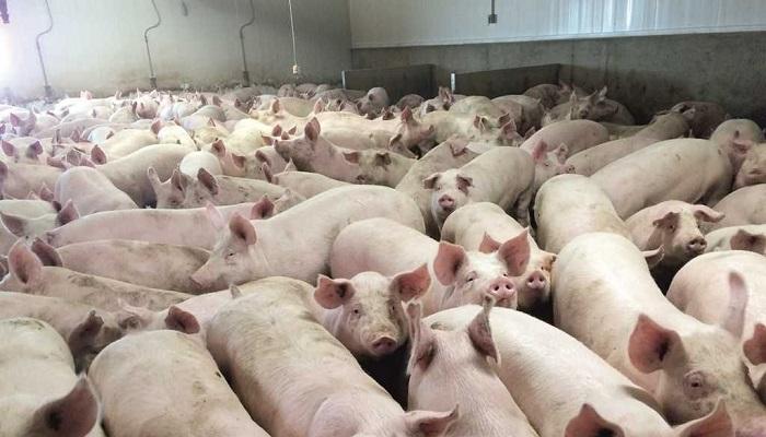 толпа свиней