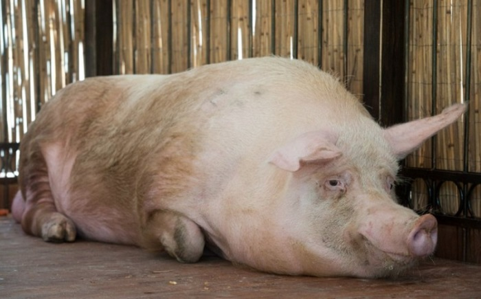 свинка лежит на полу