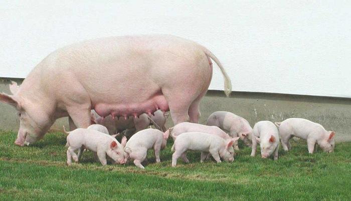на траве свиное семейство