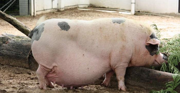беременная свинья ест