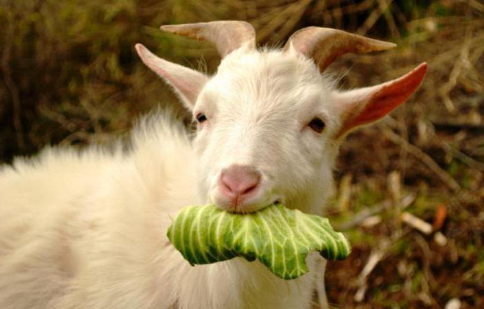 козленок ест капусту