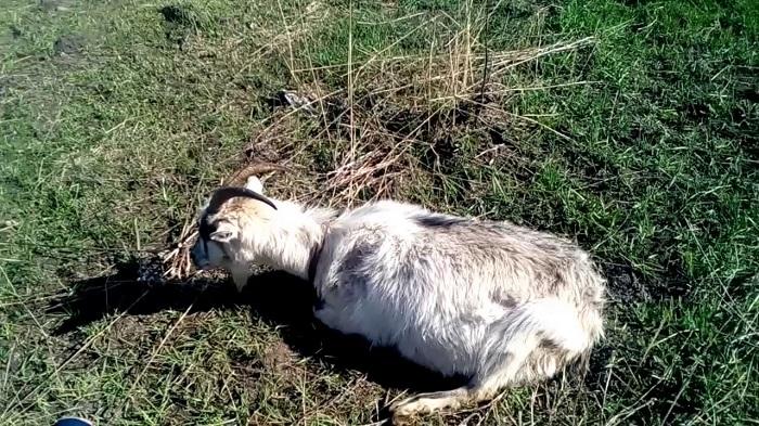 вздутие живота козы