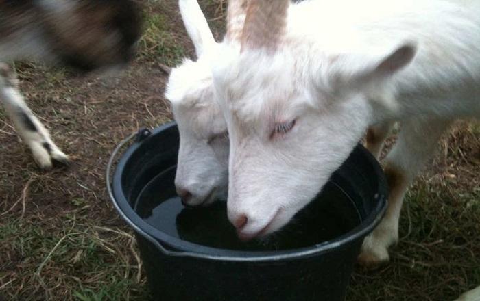 козы пьют воду