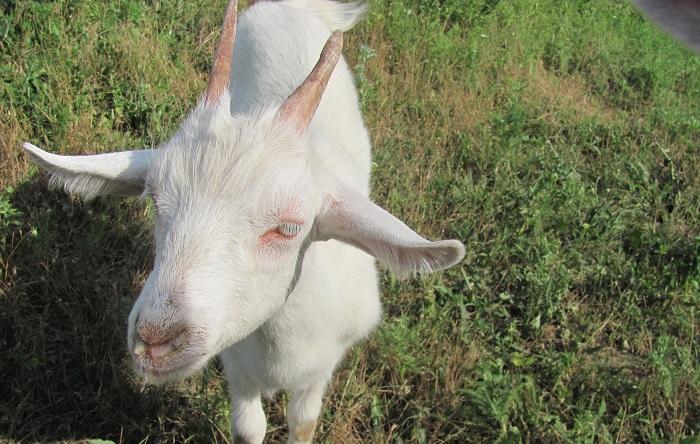 сопли у козы