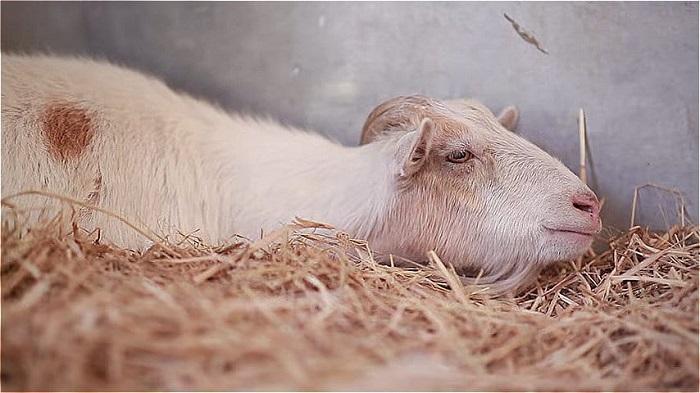 коза болеет