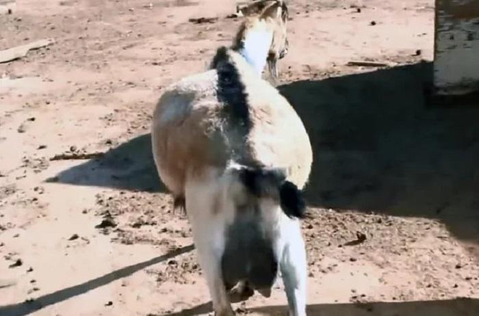 живот козы