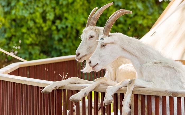 козы на задних ногах