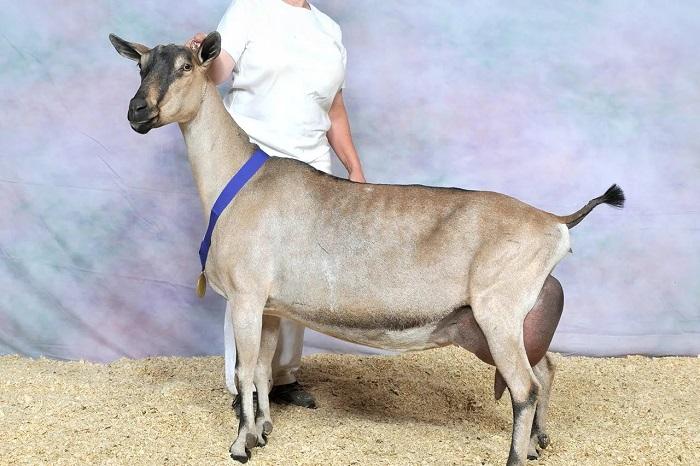 коричневая коза