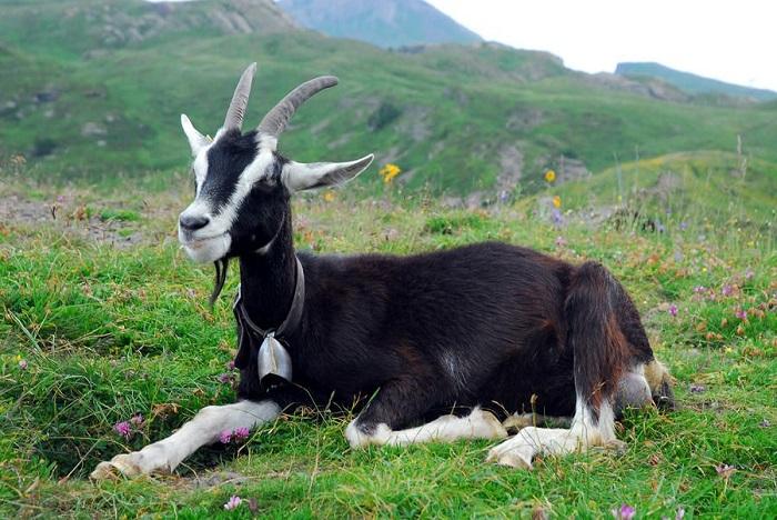 коза в альпах