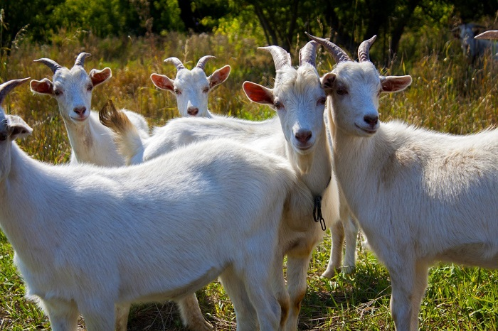 козы смотрят в камеру