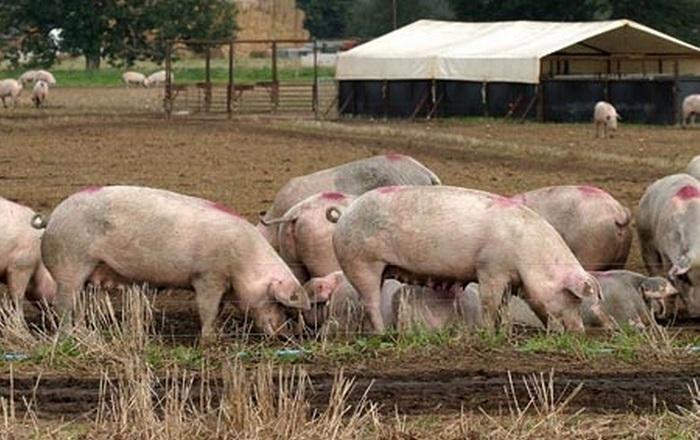 стадо свиней в деревне