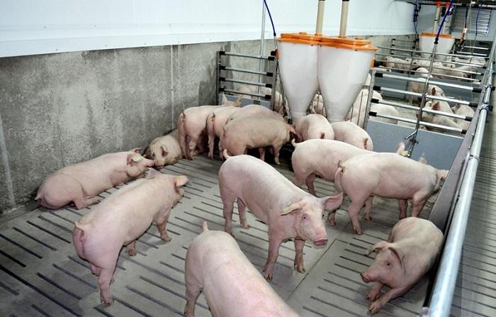 свинарник английским свиньям