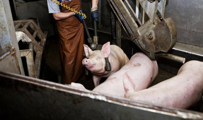 измеряют свинью