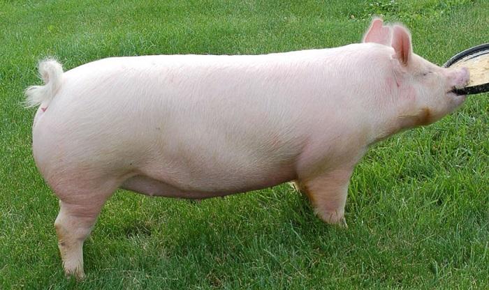 белый свин на траве
