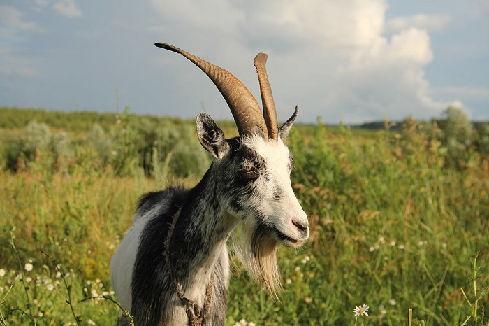 бородатая коза