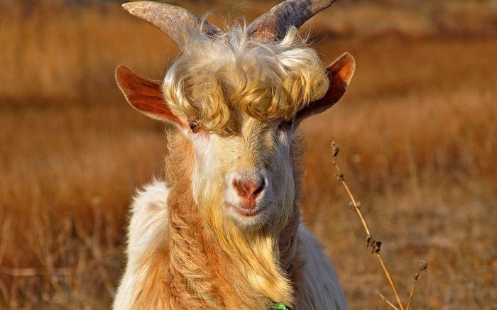 кудрявый козел