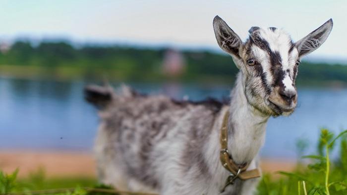 полосатый козленок