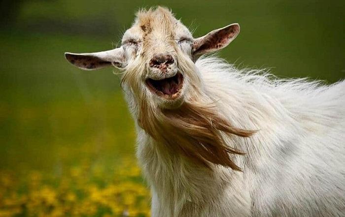 счастливый козел