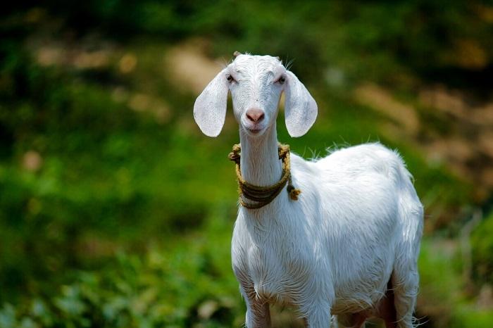 вислоухая коза