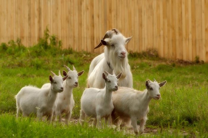 мама с козлятами