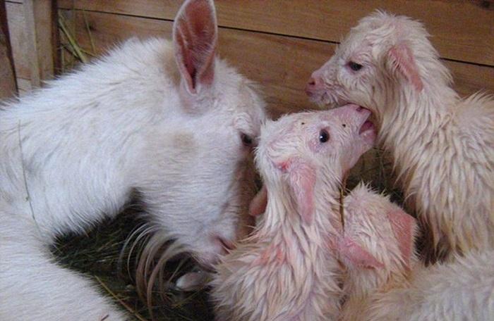 коза после родов