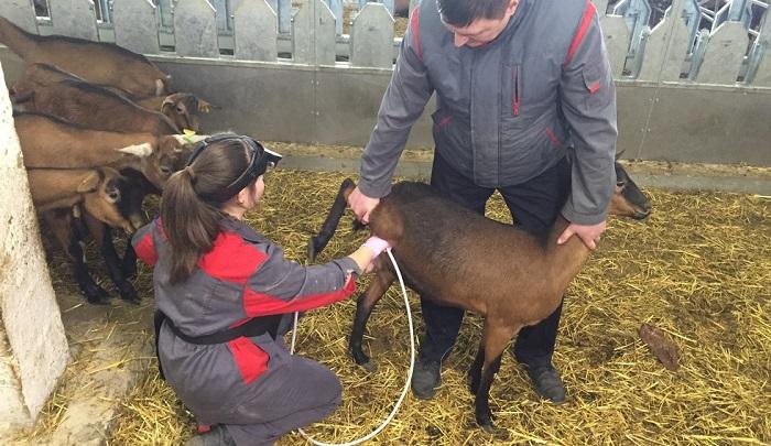узи беременности козы