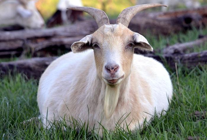 беременная коза в траве