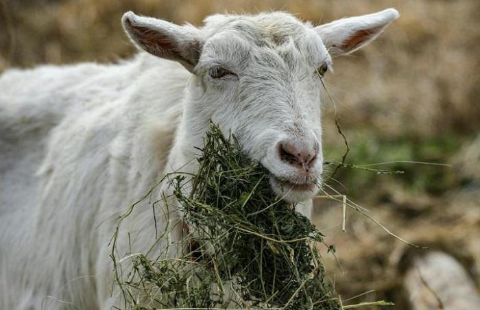 беременная коза ест