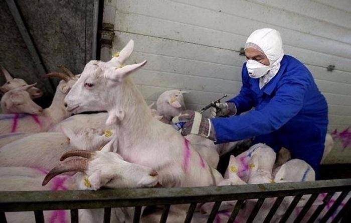 вакцинация коз