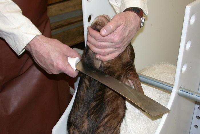 нож у горла козла